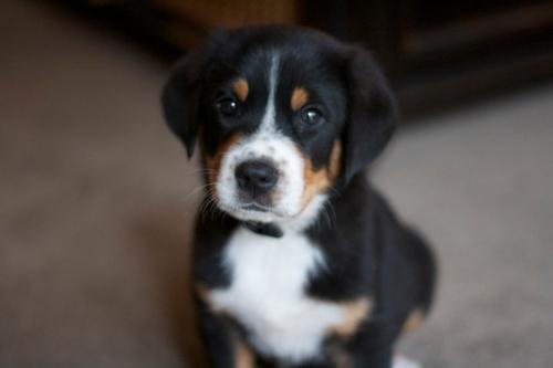finn_puppy