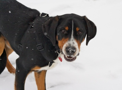 swiss mountain dog snow