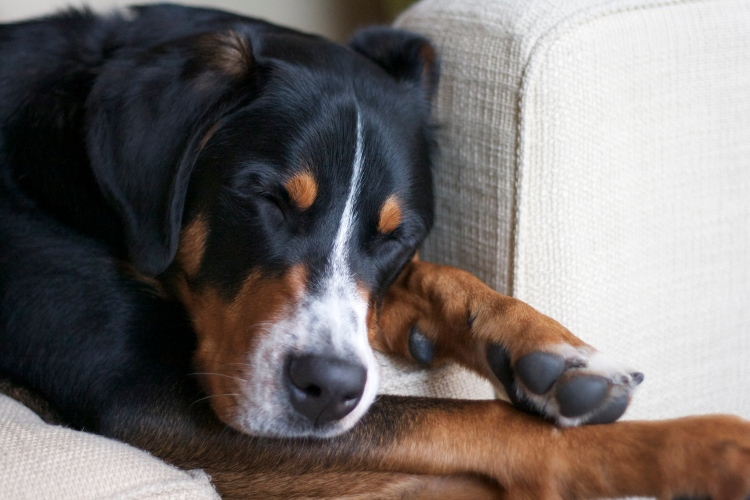greater swiss mountain dog puppy simply social blog