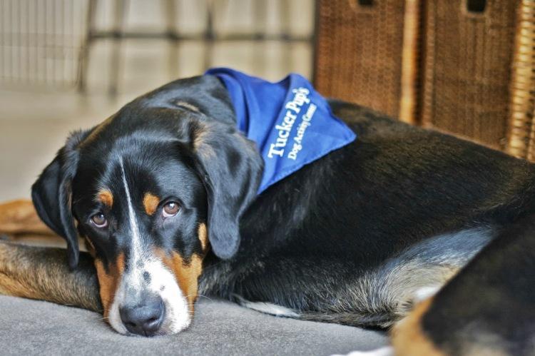 greater swiss mountain dog sad dog diary