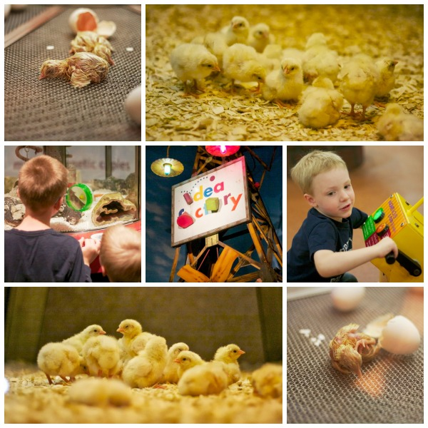 Baby chicks museum of science and industry Chicago simply social blog