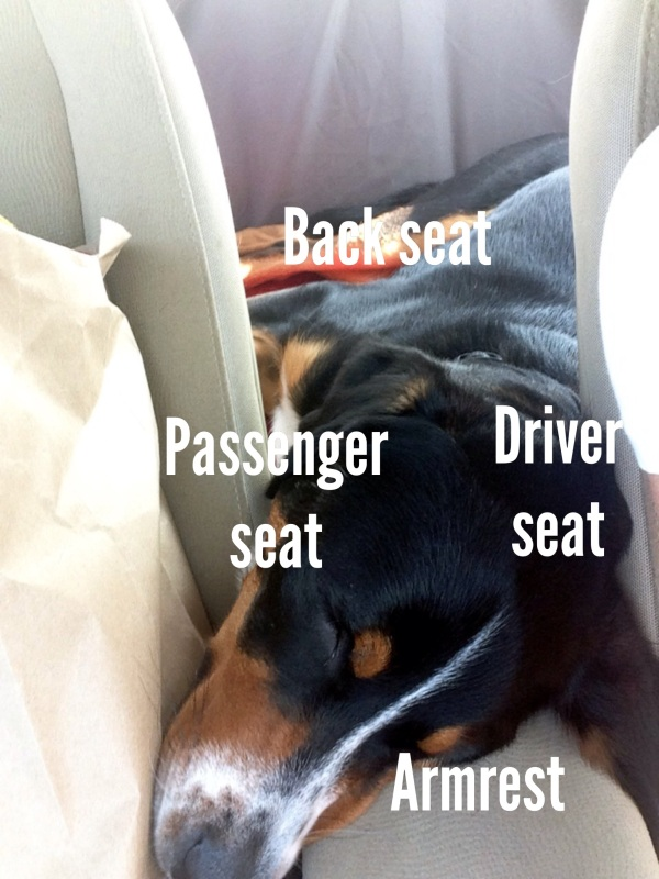 greater swiss mountain dog sleeps in car simply social blog
