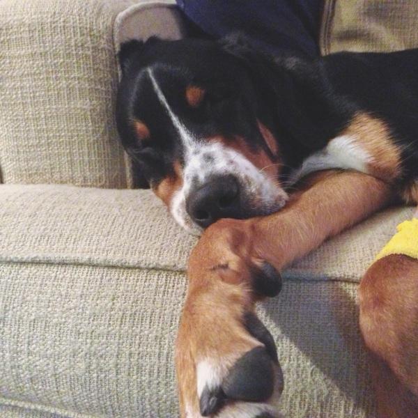 greater swiss mountain dog, puppy, finn, swissy
