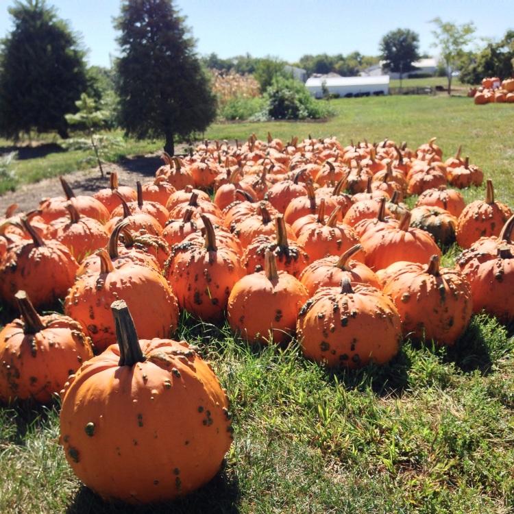 bomke's patch, pumpkin, simply social blog