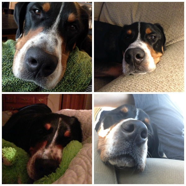 greater swiss mountain dog finn