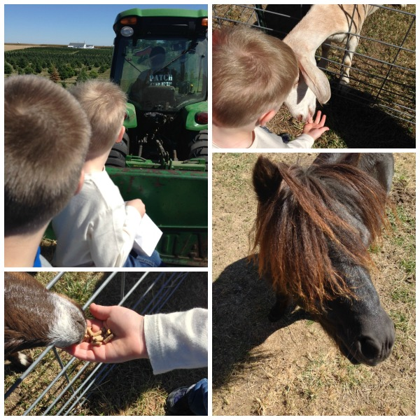 bomke's patch, pumpkin, wagons, tractors, petting zoo, miniature horse, goats, imply social blog