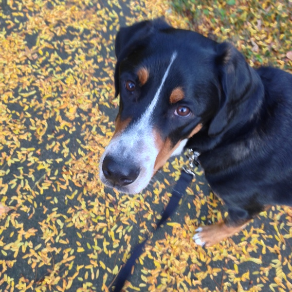 greater swiss mountain dog, swissy, fall leaves, gsmd, simply social blog