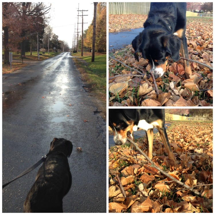 fall colors, springfield illinois, simply social blog, greater swiss mountain dog