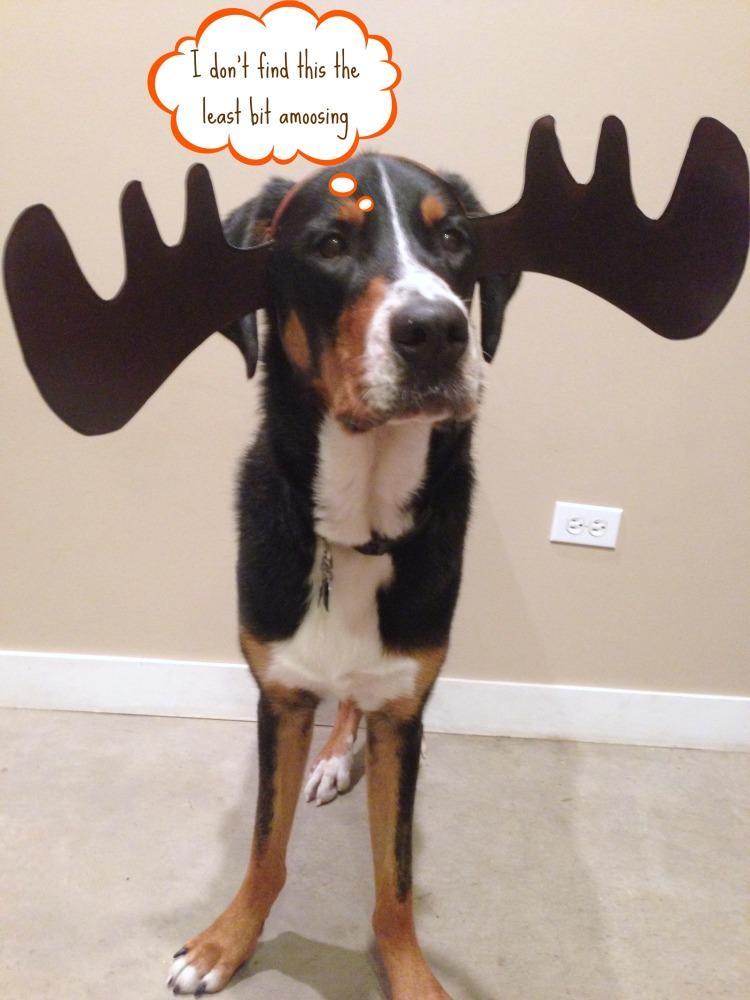 greater swiss mountain dog moose antler costume