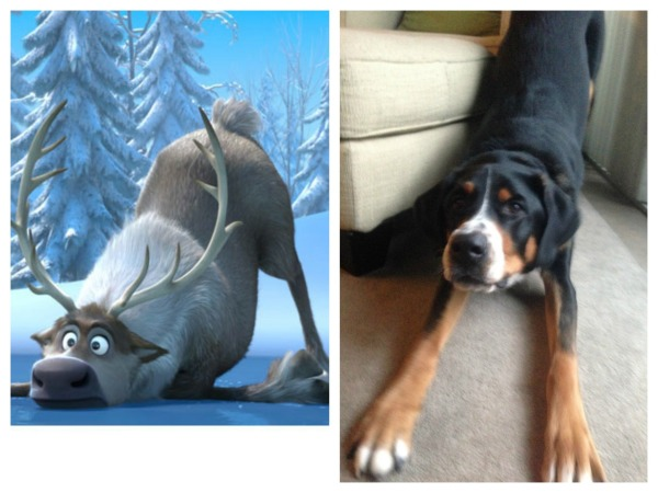sven frozen swiss mountain dog puppy