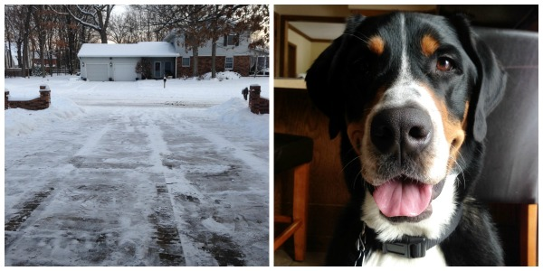 swissy snow, greater swiss mountain dog, finn, puppy
