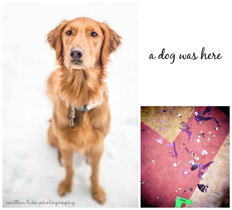 a dog was here, charlie, golden retriever, caitlin lisa photography