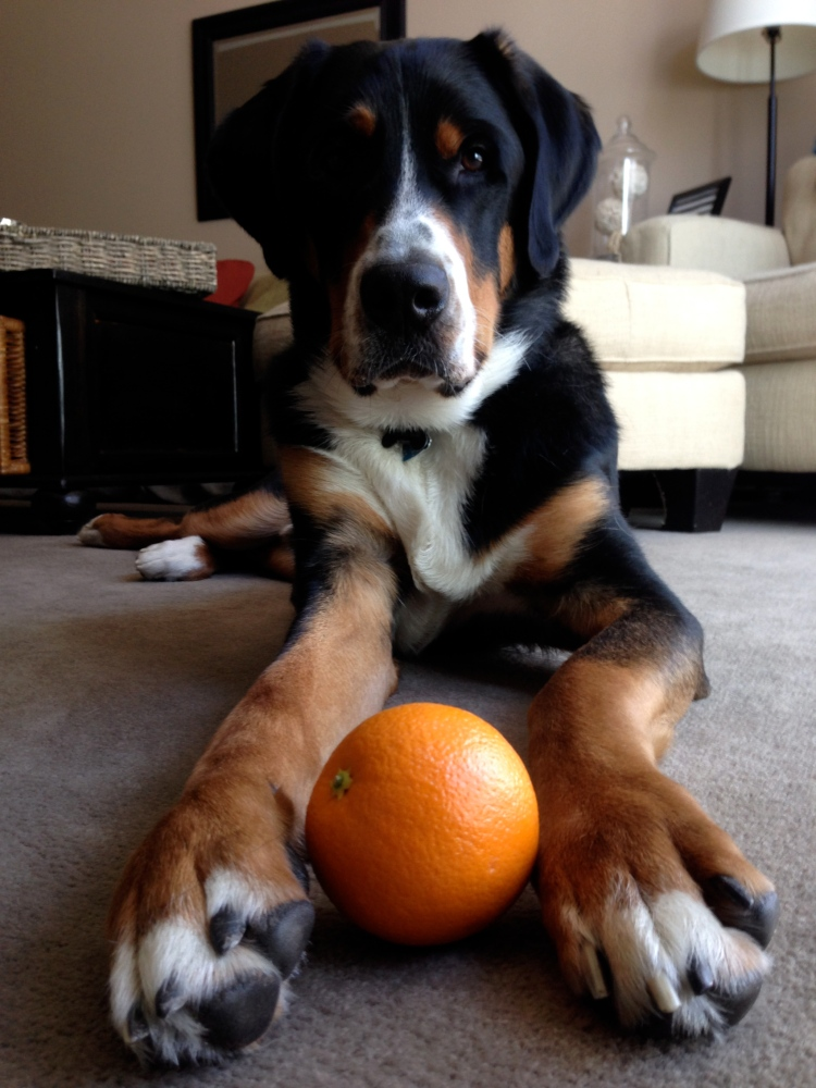 greater swiss mountain dog, moving announcement, florida, simply social blog