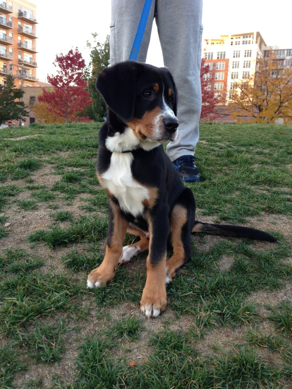 swiss mountain dog puppy, west loop, chicago, mary bartelme park