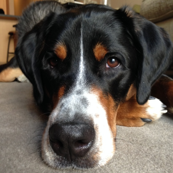 greater swiss mountain dog puppy, Finn, what my dog ate, swissy, gsmd