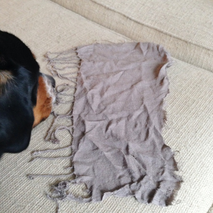 greater swiss mountain dog eats scarf, swissy, puppy problems