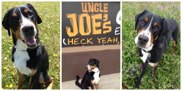 greater swiss mountain dog, finn goes to florida, puppy, swissy, car ride