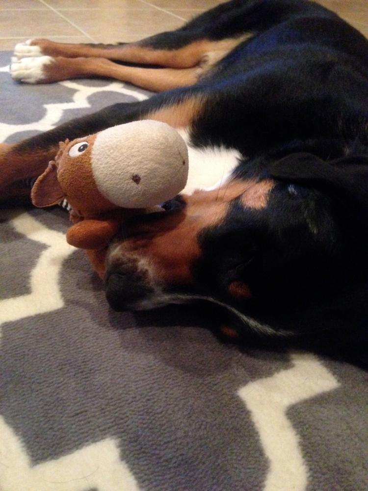greater swiss mountain dog, sleeping puppy, swissy, puppy