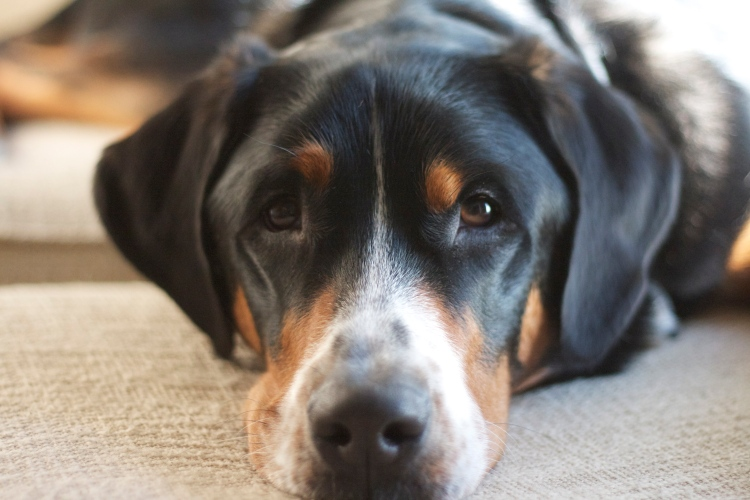 greater swiss mountain dog, swissy, finn, dog, puppy, get fit like fido, workouts with your pet