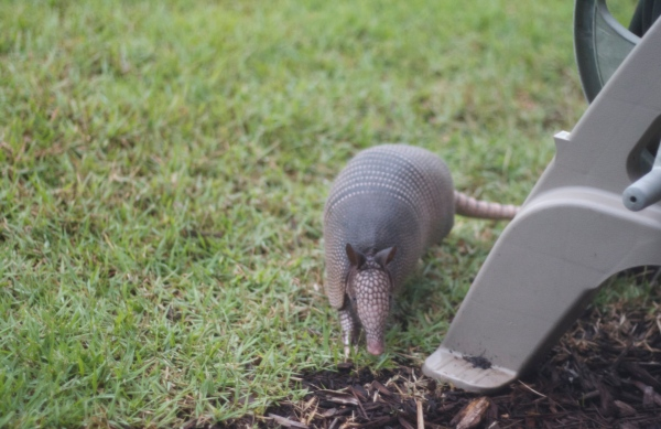 armadillo, florida armadillo, neighbors, animals, florida wildlife
