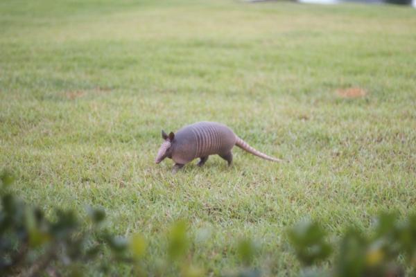 armadillo, florida armadillo, neighbors, animals, florida wildlife