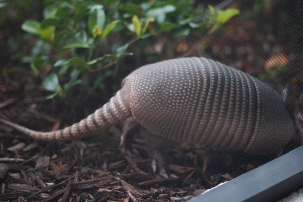 armadillo, florida armadillo, neighbors, animals, florida wildlifearmadillo, florida armadillo, neighbors, animals, florida wildlife