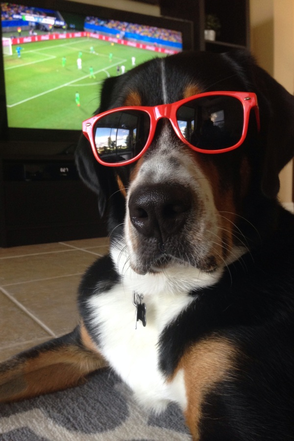 greater swiss mountain dog, swissy, finn, dog, puppy, world cup 2014, soccer,