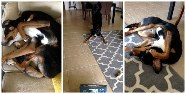 finn, yoga, dog, swiss mountain dog, puppy,