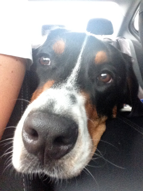 greater swiss mountain dog, finn, puppy, dog, swissy