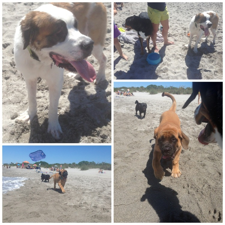finn, greater swiss mountain dog, swissy, puppy, dog, saint bernard, mastiff, brohard dog beach, venice, beach,