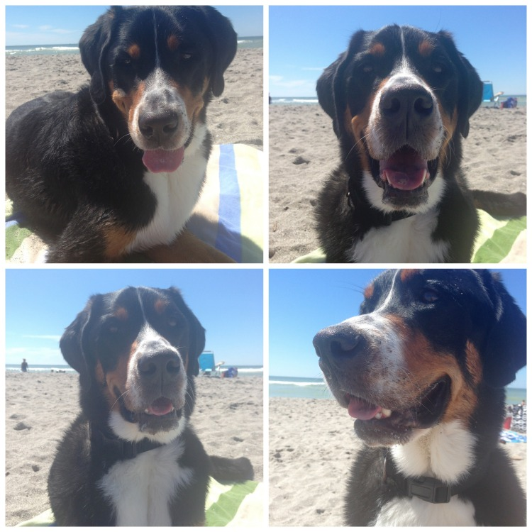 finn, greater swiss mountain dog, swissy, puppy, dog, brohard dog peach, paw park, florida, gulf coast, dog beach