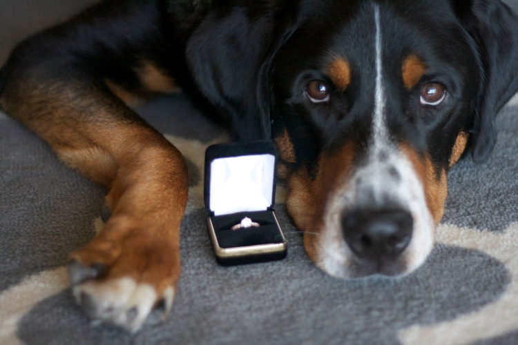 greater swiss mountain dog, engagement ring, dog engagement announcement, swissy, wedding,