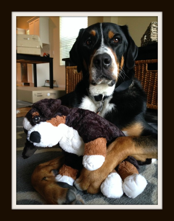greater swiss mountain dog, puppy, finn, swissy, gsmd, dog,