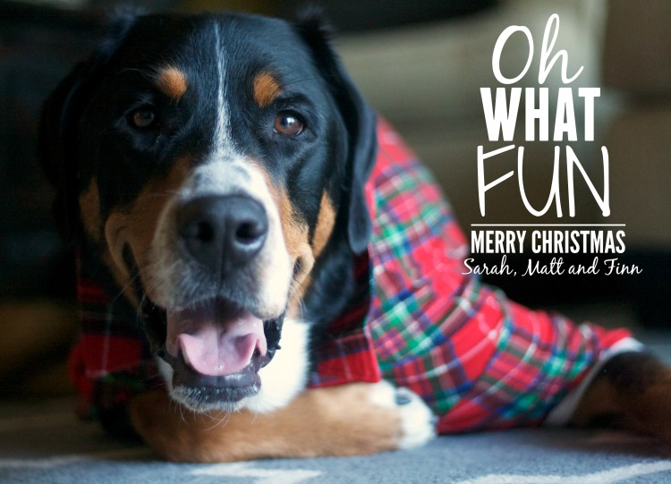 greater swiss mountain dog, swissy, finn, christmas card, christmas, holiday, dog,