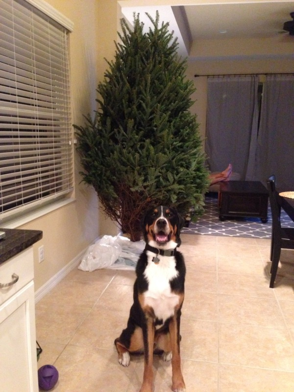 greater swiss mountain dog, puppy, finn, swissy, gsmd, dog, christmas tree, christmas, holiday