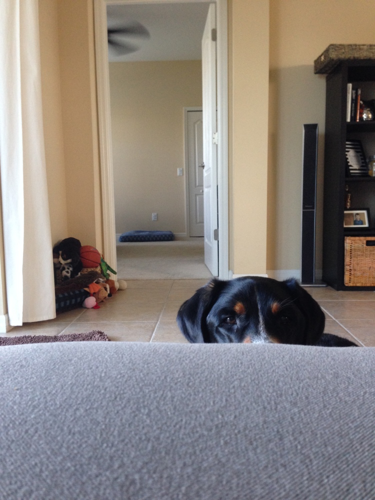 greater swiss mountain dog, finnegan, swissy, greater swiss, dog, puppy