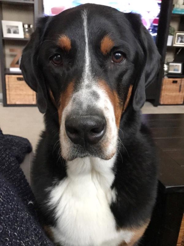 Finn, greater swiss mountain dog, finnegan, swissy, gsmd