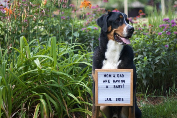 baby announcement, greater swiss mountain dog, swissy, baby, letterboard frame baby announcement,