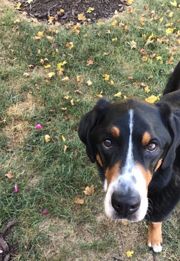 greater swiss mountain dog, finn, swissy, gsmd,